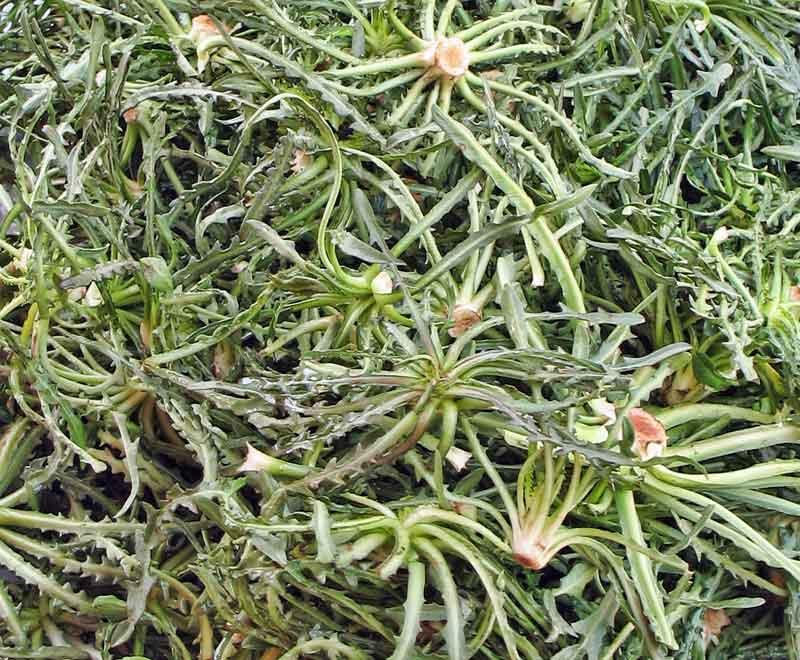 Cichorium spinosum